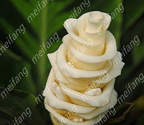 Freeshipping importations allemandes 60pc de fleurs sedum rayonnement succulentes de graines en pot merveilleux graines charnues spirale blanc