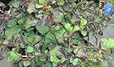 Burma-Bleiwurz Griffithii - Hornarbe - Stauden-Bleiwurz - Ceratostigma Griffithii - lange Blühdauer (15-20)