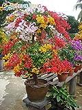 Shopmeeko 50 stücke Mix Farbe Bougainvillea Balkon Topf Hof Bonsai Blume Pflanze Immensly Blumig Blumige Winterharte Kostenloser Versand Sementes: Lila