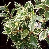 Shop Meeko Croce Comune Nursery Osmanthus heterophyllus 'Variegatus