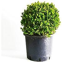 2011483b97 Pianta da esterno BOSSO DALLA FORMA ROTONDA-BUXUS ROTUNDIFOLIA- *pianta  vera* Ø