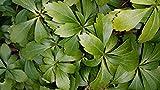 5 Stk. Dickmännchen - Schattengrün 'Green Carpet' -(Pachysandra terminalis 'Green Carpet')- Topfware 3-4 Triebe