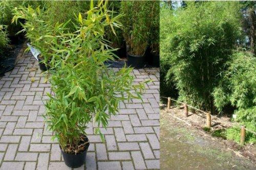 fargesia hecke Fargesia robusta Campbell Robuster Hoher Hecken-Bambus