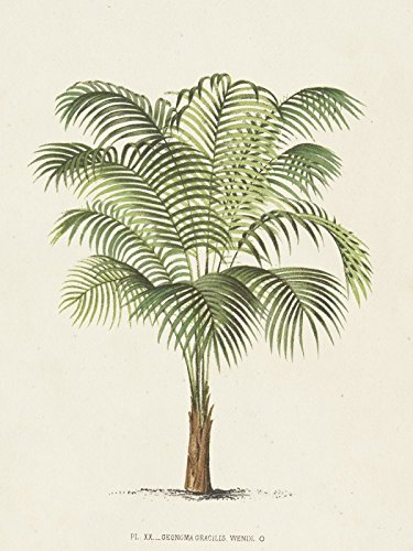 Artland Poster oder Leinwand-Bild fertig aufgespannt auf Keilrahmen mit Motiv Unknown Palme II Botanik Pflanzen Illustration Creme C2CK