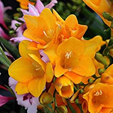 Kraft seeds Asraw Freesia Flower Bulbs (Golden Bulbs) - 15 Bulbs