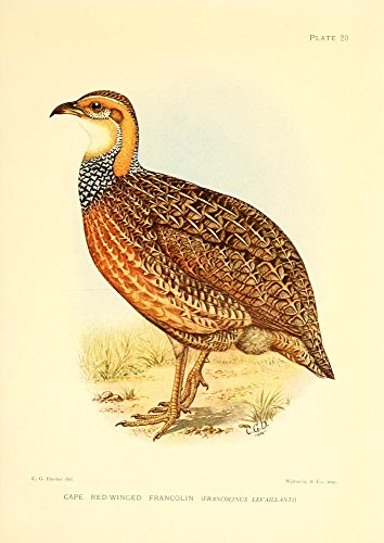 Sergeant Charles G. Davis - The Game-birds & Water-fowl of South Africa 1912 Cape Red-winged Francolin Kunstdruck (60,96 x 91,44 cm) -