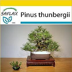 SAFLAX - Anzucht Set - Bonsai - Japanische Schwarzkiefer - 30 Samen - Pinus thunbergii
