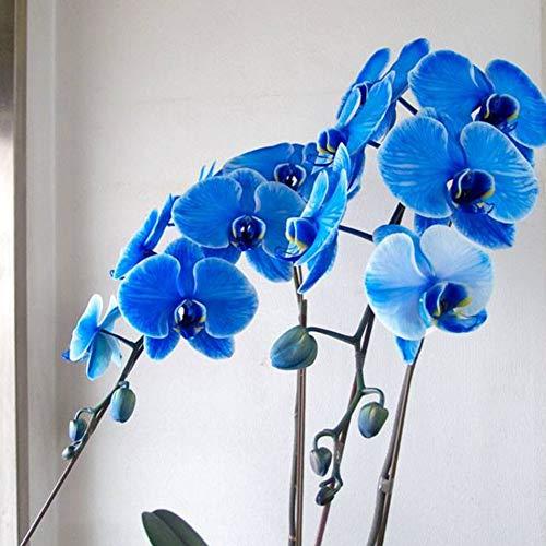 Schmetterling Orchidee Samen, KimcHisxXv 20 St¨¹cke Samen Phalaenopsis Amabilis Blumengarten Bonsai Decor - Blau Schmetterling Orchidee Samen (Orchidee, Blau, Pflanze, Samen)