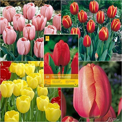 Tulpenzwiebeln Sortiment in 5 Sorten 5 Farben - Blumenzwiebeln, mehrjährig & robust- Darwin-Hybrid Tulpe Sortiment in 5 Sorten - 47 Tulpen-Zwiebeln von Garten Schlüter - Pflanzen in Top Qualität
