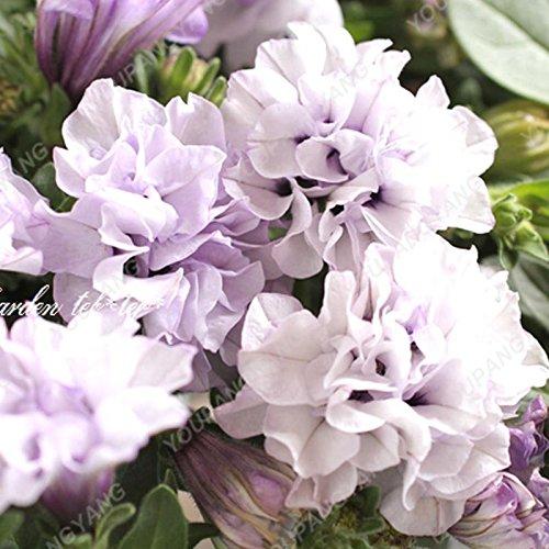 200pcs Bonsai Pétales de fleurs de pétunia couleurs mélangées Double Petunia Hybrid Seeds avec le pack professionnel Une décoration pour la maison Jardin Noir