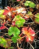 Staudenkulturen Wauschkuhn Geranium dalmaticum 'Bressingham Pink' - Storchschnabel - Staude im 9cm Topf