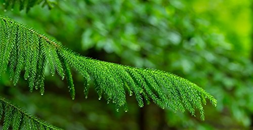 The Poster Corp Panoramic Images – Close-up of Norfolk Island Pine (Araucaria heterophylla) Leaves Hamburg New York State USA Photo Print (91,44 x 30,48 cm)