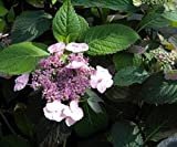Tellerhortensie Blue Billow - Schirmhortensie - Hydrangea serrata Blue Billow