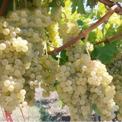 50 pcs / lot de raisin rouge doux Graines avancée Fruit graines croissance naturelle de raisin délicieux fruits jardinage plantes 6