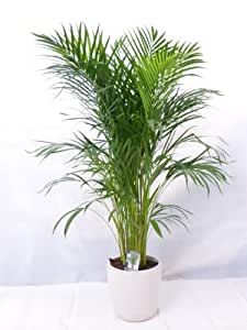 echte pflanze goldfruchtpalme 130 cm chrysalidocarpus lutescens areca palme zimmerpflanze. Black Bedroom Furniture Sets. Home Design Ideas
