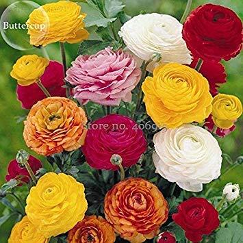 Pinkdose2018 heißer Verkauf seltene bunte schÃne Ranunculus Asiaticus persische Butterblume mehrjährige Blumen, 20 Samen, blendende Blumen leuchten Garten - Persischen Garten Blumen