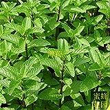 Fash Lady Spearminted Minzsamen Bergamotte süße Pferd Minze Samen Keimung Rate von etwa 100 Samen