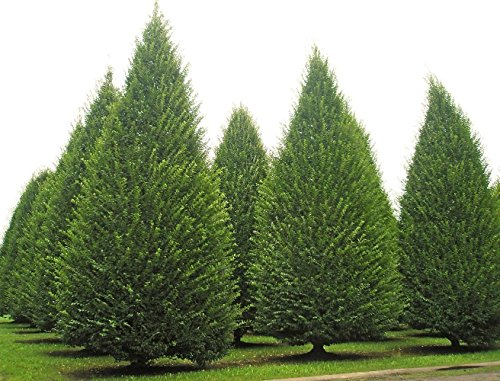 5 Semi di Carpinus betulus Upright Albero europeo Carpino