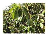 Avocado Persea americana gratissima Pflanze 20cm Butterfrucht Hass Rarität