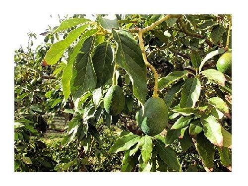 Avocado Persea americana Pflanze 15-20cm Persea gratissima Butterfrucht Rarität