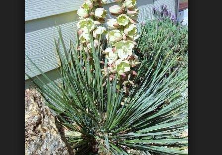 5 Samen von Yucca Glauca Schmalblättriger Palins Yucca
