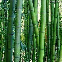 Riesenbambus Bambusa arundinacea essbare Sprossen 20 Samen