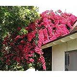 AGROBITS 10 Samen/pack Förderungen! Bunte Bougainvillea spectabilis Willd Samen Bonsai Pflanze Blumensamen Stauden Bougainvillea Samen: A1