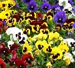 PANSY - GIANT SWISS MIXED - 500 FINEST SEEDS