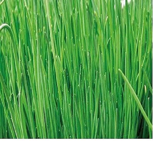 750x Erba Cipollina Grossolana Rad Allium Schoenoprasum Semina Sementi - K216