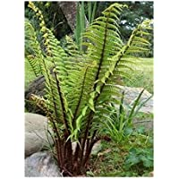 Dryopteris wallichiana - - 10 semillas