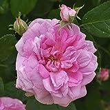 Historische Rose Ispahan - Wurzelnackt Buschrose in A-Qualität