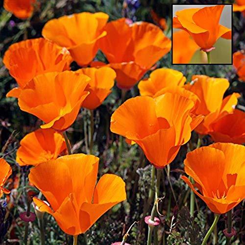 GEOPONICS 1000 CosmosIn Eine Mischung aus 11 Variies Lange Blütezeit Alle Zonen