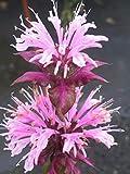 Monarda fistulosa 'Beauty of Cobham' - 3 Pflanzen im 1 lt. Rundtopf
