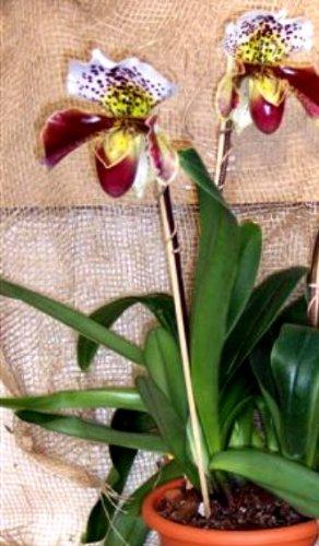 Mühlan Orchideen 1901