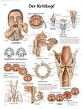 3B Scientific Lehrtafel - Der Kehlkopf