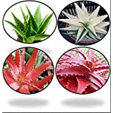 Greenly Aloe Vera Seeds - Red, Green, White (80 Seeds)