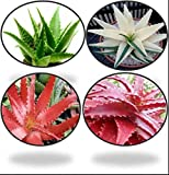 #7: Greenly Aloe Vera Seeds - Red, Green, White (80 Seeds)