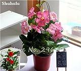 50 Pcs / sac Rare Dipladenia Sanderi Graines vivaces Escalade Mandevilla Sanderi fleurs en plein air Jardin Bonsai plantes ornementales 10
