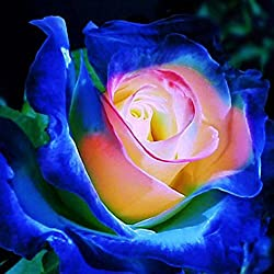AIMADO mehrfarbige Rosen 100 Saaten neue Nizza entzückende duftende Blumen Samen Dekorationen Bonsai (10 blau-rosa-weiß)