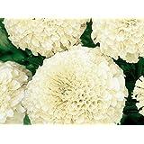 Cremig-weiße mexikanische Ringelblume - niedrig wachsende Sorte, bis 35 cm; Aztekische Ringelblume - samen