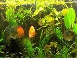 Wasserpflanzen für 120 l Diskus Aquarium + Dünger