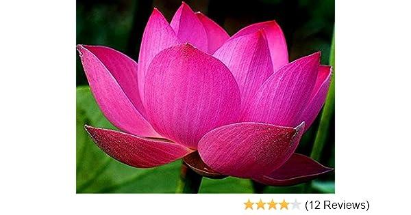 Bowl Lotuswater Lily Flower Bonsai Lotus Ponds 5 Fresh Seeds