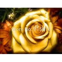 """flor bonsai semillas color de rosa 50pcs realmente raro """"Golden Rose"""", el crecimiento natural! Hermoso y móvil! Inicio jardinería,!"""