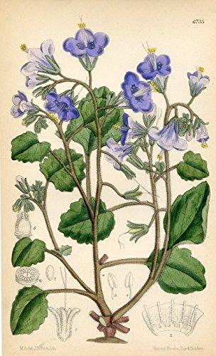 Phacelia Campanularia. Altkolorierte Original-Lithographie (Aus: Curtis' Botanical Magazine, No. 6735).