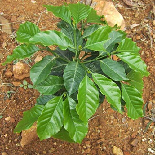 Bornbayb 100 Pièces Graines De Grains De Café Graines Petit Graines De Caféier pour La Maison Jardin Plantation