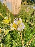 PLAT FIRM Germinazione dei semi: Lactuca virosa, selvaggio spinoso oppio lattuga, cardo mariano 100 semi, biennale