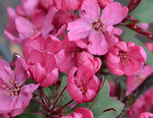 malus-prairie-fire-purple-leaf-flowering-crab-apple-tree-4-5ft-supplied-in-a-5-litre-pot