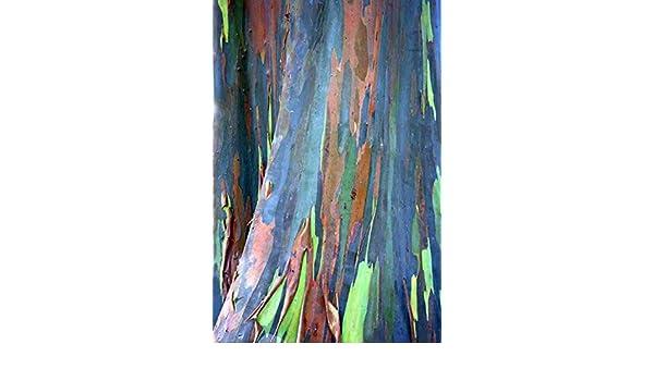 300 Samen Eucalyptus deglupta Rarität! Regenbogeneukalyptus
