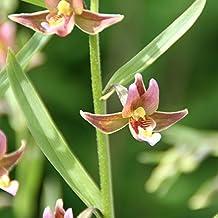 Yellow-orange Garden Orchid ❀ Epipactis Sabine ✿ Easy Garden