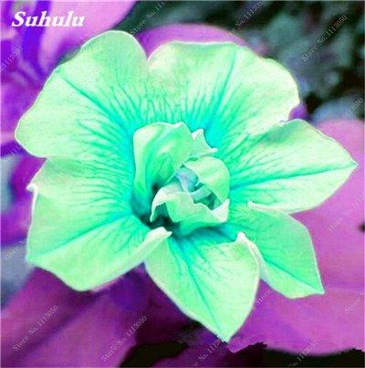 100 pcs / sac pétales de double Petunia Graines Bonsai Graines de fleurs Court Taille Jardin Fleurs Graines d'intérieur ou Ourdoor Cache-pot